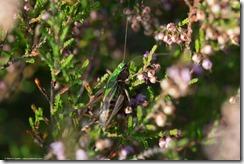Heidesabelsprinkhaan (vrouwtje)
