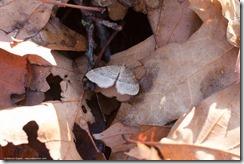 Berkenwintervlinder